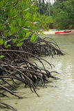 The roots of the mangrove trees Stock Images