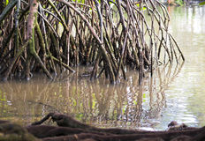 Roots of Mangrove Trees Royalty Free Stock Photography