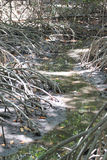 Roots of mangroves trees. Royalty Free Stock Photos