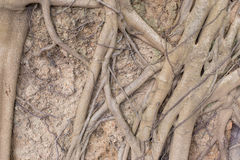 Roots. More root on the ground Stock Image