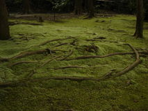 The roots of moss. Summer moss at toshodaiji stock photography