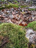 Roots in moss, fallen leaves in the forest stock images