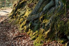 Roots and moss in the forest at sunset Royalty Free Stock Photo