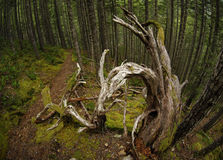 Roots And Moss Temperate Rainforest Royalty Free Stock Images