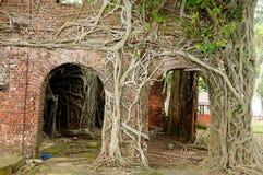 Free Roots Of Strangler Tree Climb Over Wall Stock Photography - 12065012