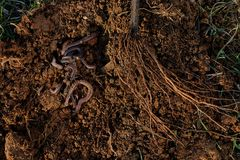 Free Roots Of Tree And Worms On Soil. Royalty Free Stock Photography - 110509677