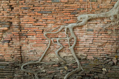 The roots of old brick wall. In Temple Ayutthaya, Thailand stock photography