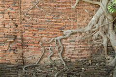 The roots of old brick wall2. The roots of old brick wall in Temple Ayutthaya, Thailand stock photo