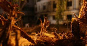 Roots of old dry tree stock footage
