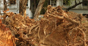 Roots of old dry tree stock video footage
