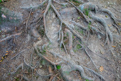 Roots of an old tree Stock Photography