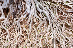 Roots of old tree, an amazing chaos. Royalty Free Stock Photos