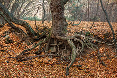The roots of an old tree Stock Images