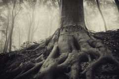 Roots of an old tree in a dark misty forest Royalty Free Stock Image