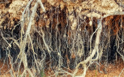 Roots of old tree without ground Stock Images