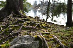 Roots of an old tree near the lake stock photos
