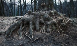 Roots of an old tree in the park Stock Photo
