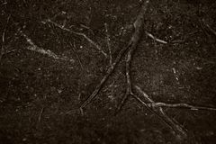 Roots of an old tree on the soil surface Stock Photo