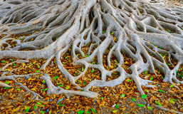 Roots of old tree Royalty Free Stock Photos