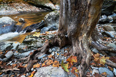 Roots and old tree trunk. Royalty Free Stock Images