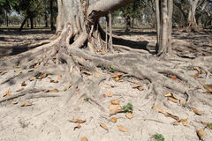 Roots of old trees for decades. Royalty Free Stock Photography