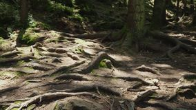 The roots of old trees on a mountain path, an old deciduous forest. The rays of the sun make their way and stain them. With spots stock video footage