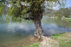 Old willow on the shore of the pond in Abrau-Durso Royalty Free Stock Photos