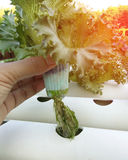 Roots organic Hydroponic vegetable farm without chemical Stock Photos