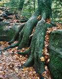 Roots Over Rocks Stock Image