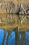 Roots over water Royalty Free Stock Photos