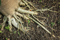 The roots of papaya most deeply rooted. Stock Images