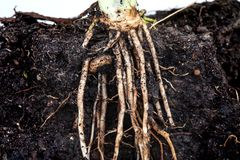 Roots of parsley under soil Royalty Free Stock Photography