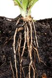 Roots of parsley under soil Stock Photo