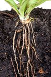 Roots of parsley under soil Royalty Free Stock Photos
