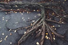 Roots on pavement. Tree roots pushing up through the pavement royalty free stock photo