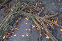 Roots on pavement. Tree roots pushing up through the pavement royalty free stock image