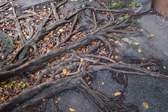 Roots on pavement. Tree roots pushing up through the pavement stock photography