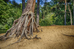 The roots of the pine. The roots of a pine stick out of the ground royalty free stock photography
