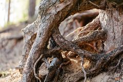 Roots of a pine tree close up. Horizontal shot in the afternoon Royalty Free Stock Image