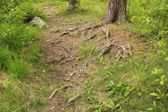 Roots of a pine tree on footpath Royalty Free Stock Image
