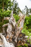 Rugged trunk and tree roots against the backdrop of the forest. Roots pulled out of the ground after a hurricane tree royalty free stock image