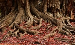Roots and red leaves Stock Photo