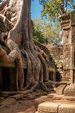 Roots at The Roof. In Angkor Complex Stock Photos