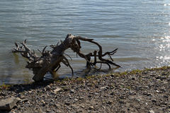 Roots on shore water. Roots of trees on the water`s edge. The water is calm royalty free stock photos