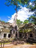 Roots of a silk-cotton tree, Ta Phrom Temple, Angkor, Siem Reap Province, Cambodia Royalty Free Stock Photography