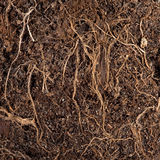 Roots in a soil Stock Photography