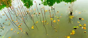 The roots of some grass stand in the pond. There are many reflections in the green pond. A lot of fallen leaves were floating in the pond royalty free stock photography