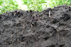 Roots of soya Royalty Free Stock Photos