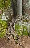 Roots of spruce Stock Image