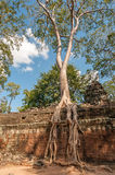 Roots with Stone. In Angkor Complex Stock Photos